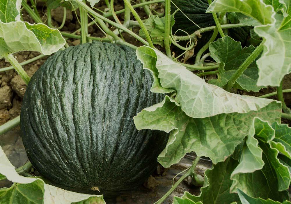 Melone purceddu d'Alcamo